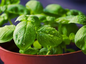 Basil is a Powerful Anti-Inflammatory