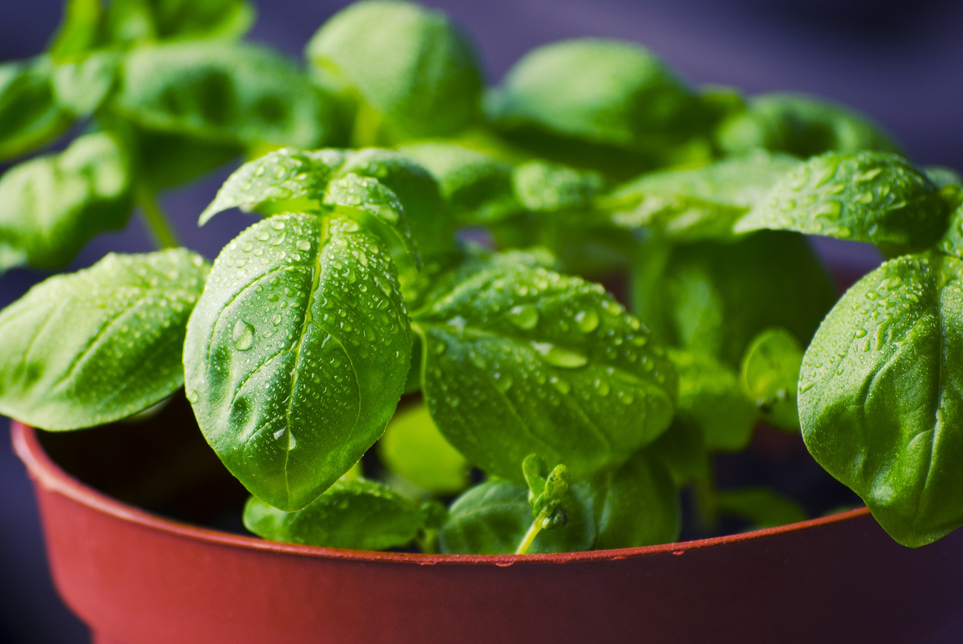 Anti-Inflammatory Basil: It is a powerful tool to manage in your life