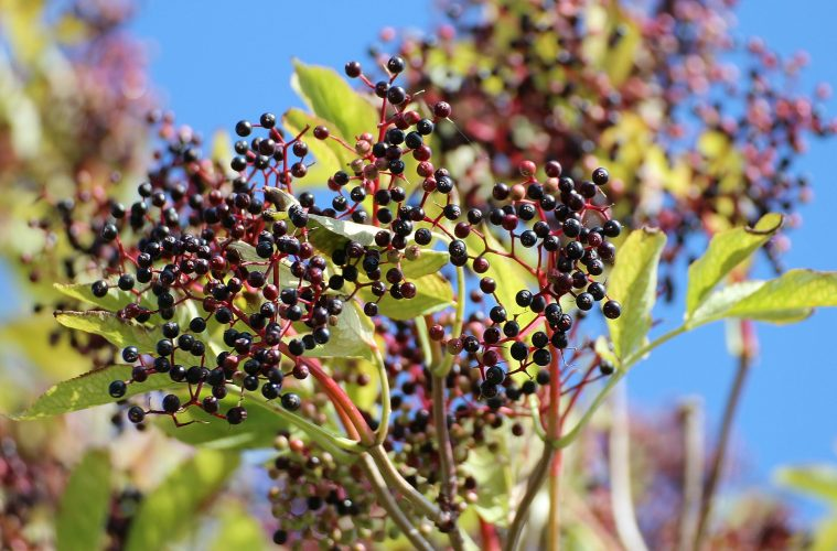 Boost Your Immunity & Never Get Sick.... Drink Elderberry Syrup Everyday
