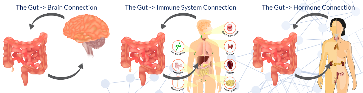 The Gut → Brain Connection The Gut → Immune System Connection The Gut → Hormone Connection